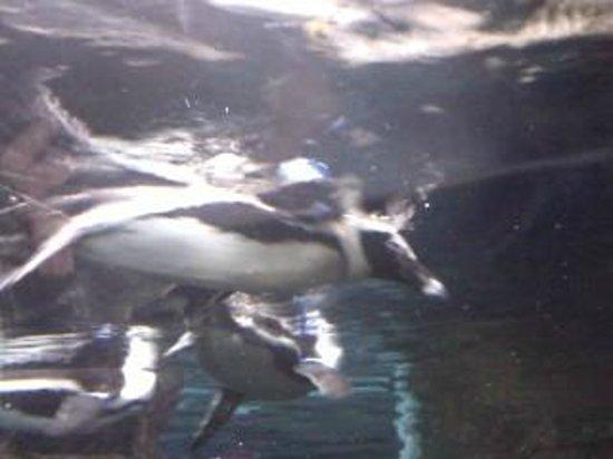 Ripley's Aquarium of the Smokies: Penguin Swimming By Me