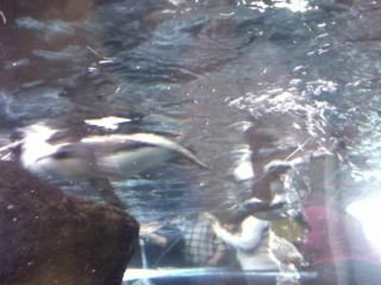 Ripley's Aquarium of the Smokies: Penguin Swimming Over Me