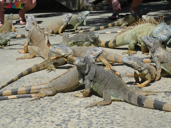 Media Luna Resort & Spa: Island tour - iguana zoo