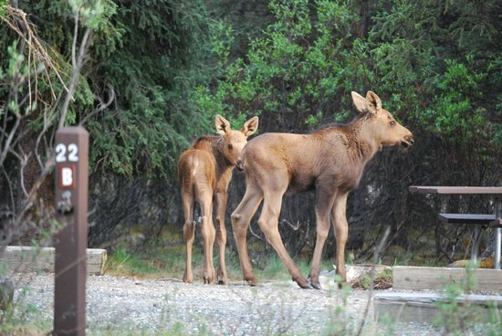 Savage River: Twin moose calves