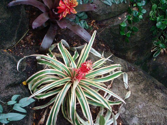 Moody Gardens: Tropical pineapple