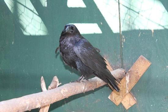Adirondack Wildlife Refuge : raven