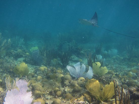 Tamarind Reef Resort, Spa & Marina: Spotted Eagle Ray