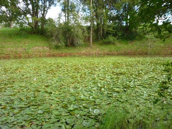 Malanda Lodge Motel: The nearby Creek, covered with Waterlillies/Lotus