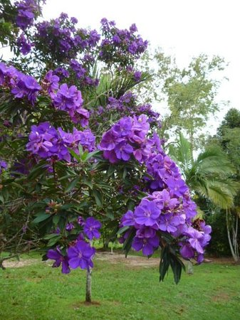 Malanda Lodge Motel: These gorgeous trees were flowering all over the Tablelands