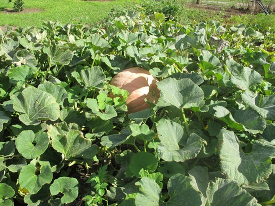 Huon Valley Caravan Park: a great looking pumpkin soon to be soup!