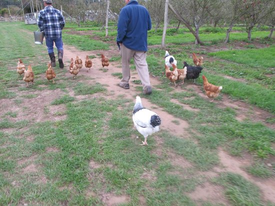 Huon Valley Caravan Park: Chickens are very friendly and definately free frange!