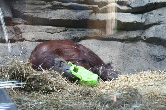 Virginia Zoo: Pepper the Orangutan