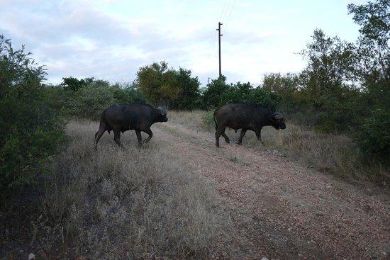 Naledi Bushcamp and Enkoveni Camp: Buffalo