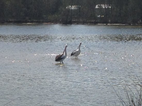 Lake Conjola Waterfront Holiday Park: Pelicans