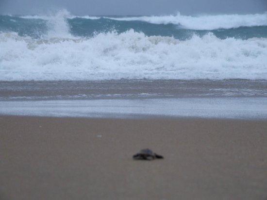 Thonga Beach Lodge: The last turtle nearly in the sea