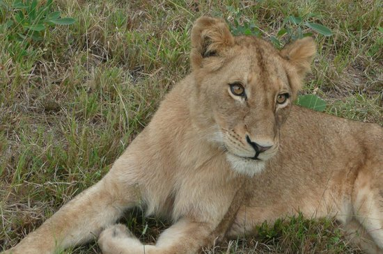 Sabi Sabi Little Bush Camp: Even cubs were seen