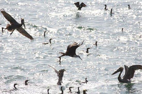 Centro Natural Punta Culebra: Pelicans, Coromorants and more