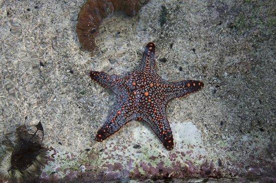 Centro Natural Punta Culebra: Starfish in the Touching Pool