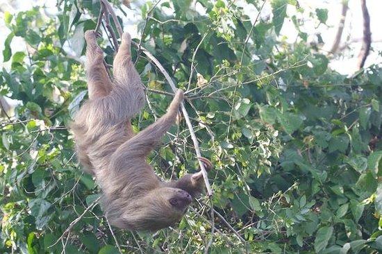 Centro Natural Punta Culebra: A sloth up a tree, view 2