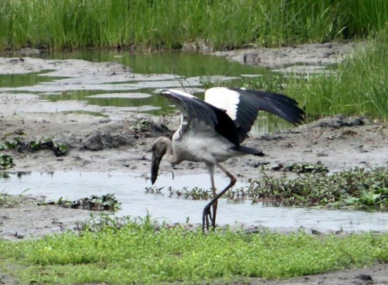 Dibru Saikhowa National Park: Large Stork in Maguri Bill....the unique wetland in the buffer