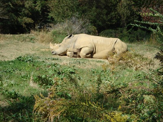 Jackson, MS: The rhino never would get up for us.  Sunning is an important part of his day, I suppose!
