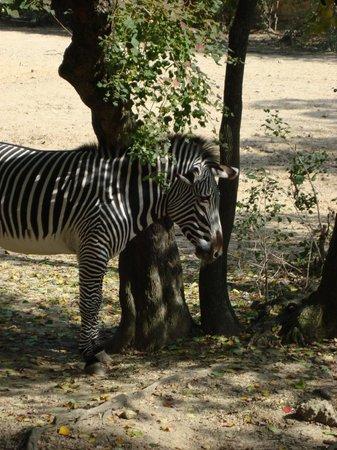 Jackson, MS: Zebra