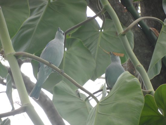 La Mariposa Hotel: blue grey tanagers building a nest on the hotel grounds
