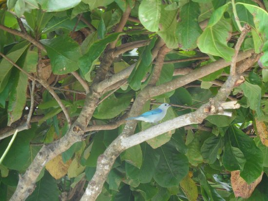 La Mariposa Hotel: blue grey tanagers on the hotel grounds