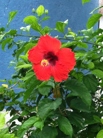 Tamarindo Bed and Breakfast: Garden hibiscus