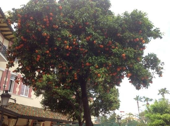Orange tree on terrace picture of globales reina for Terrace trees