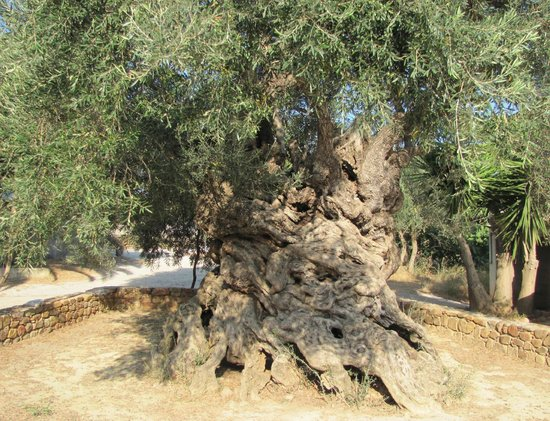 Olive Tree Museum of Vouves: 3,500-5,000 year-old ancient Olive Tree of Vouves.