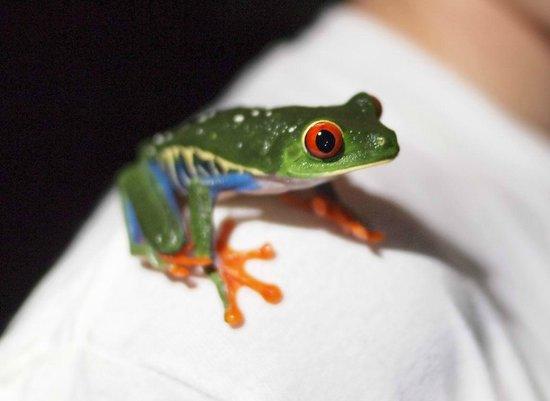 Tree Houses Hotel Costa Rica: Treefrog we saw on the night walk