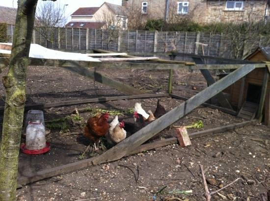 Providence Place Bed & Breakfast: chickens in the yard