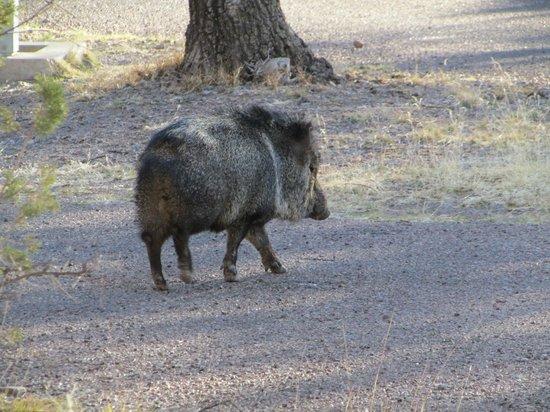 Davis Mountains State Park: Javalinas roam the grounds