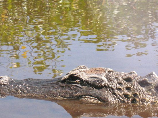 Capt Mitch's - Everglades Private Airboat Tours: Gator