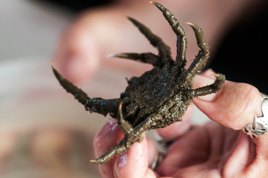 Salt Marsh Safari-The Skimmer: Rock Crab