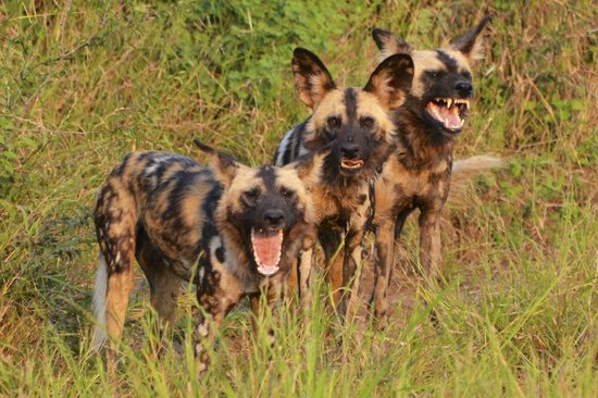 Mosetlha Bush Camp & Eco Lodge : 3 wild dogs having their say