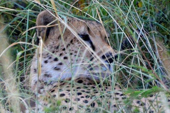 Mosetlha Bush Camp & Eco Lodge: Cheetah calling for his brother
