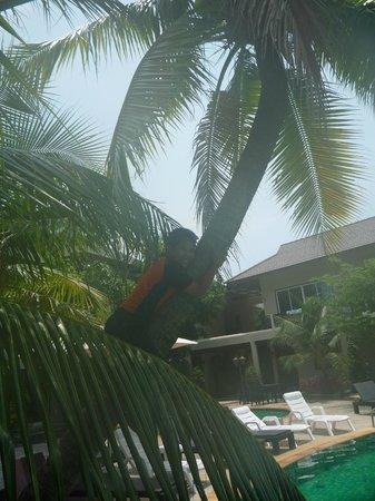 بيلانتا سبا ريزورت: Fresh coconuts from the hotels trees
