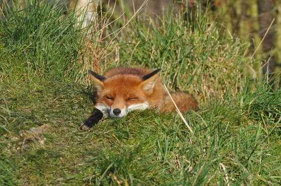 British Wildlife Centre: fox