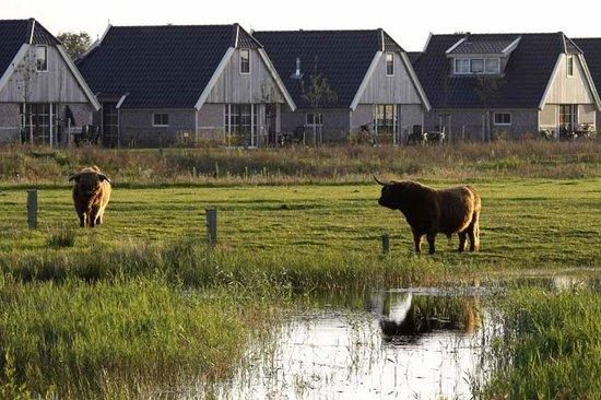 Landal Greenparks Orveltermarke: Highland cattle