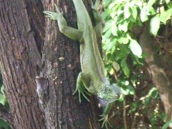 Alibaba's Sea Breeze Apartments: Iguana on tree outside balcony