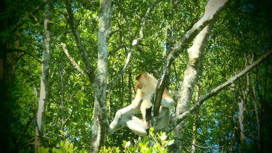 Paganakan Dii Tropical Retreat: proboscis monkey