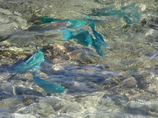 Kuramathi Island Resort: Les poissons bleus depuis la terrasse