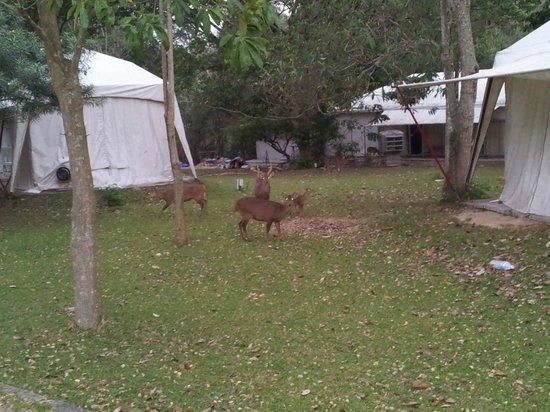 Es Ta Te Khao Kheow Resort: deer in front of tents..