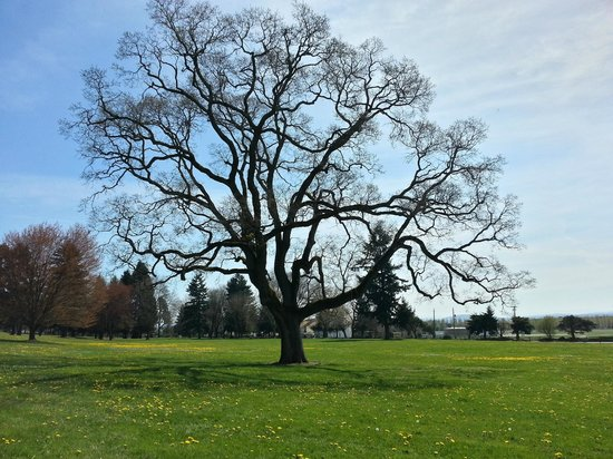 Fort Vancouver National Historic Site: Oak Tree near Fort Vancouver