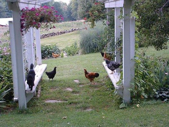 Bunker Hill Inn: Hens & Archie at the Trellis