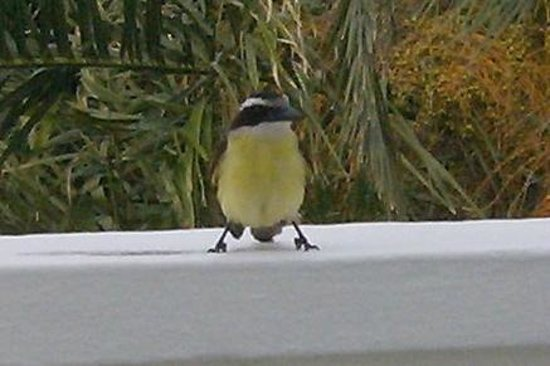 Rosedon Hotel: our daily visitor at breakfast an Kishkidee