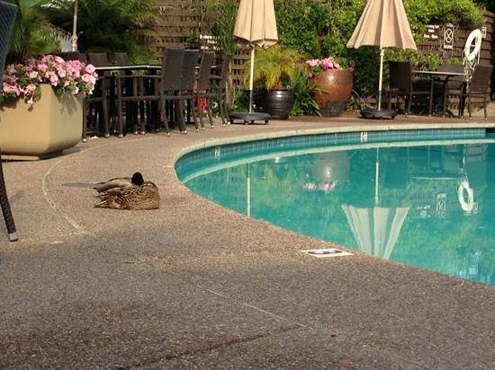 Dinah's Garden Hotel: ducks by the pool