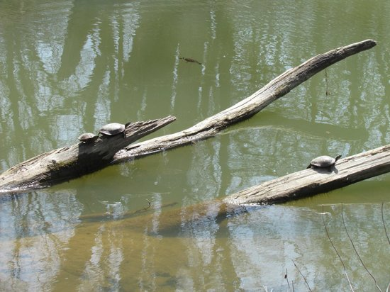 Rock Bridge Memorial State Park : Turtles sunning themselves