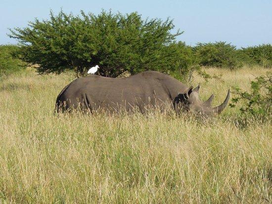 andBeyond Phinda Mountain Lodge: Phinda black rhino