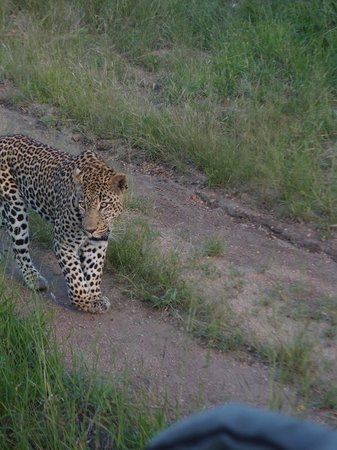 Elephant Plains Game Lodge: leopard not to pad