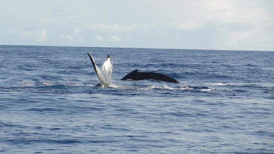 Captain Dan McSweeney's Whale Watching Adventures : A pair swimming together!