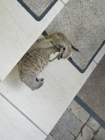 Adventures with Elephants : Timon and Trouble the meerkats